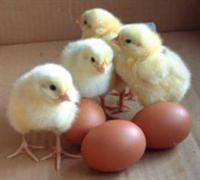 Fertilized-eggs2.jpg
