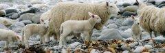 Canada-sheep.jpg