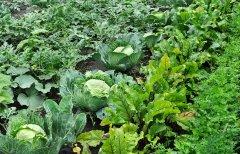 Garden-bed-intensive-planting.jpg