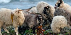 north-ronaldsay-sheep-630x400.jpg